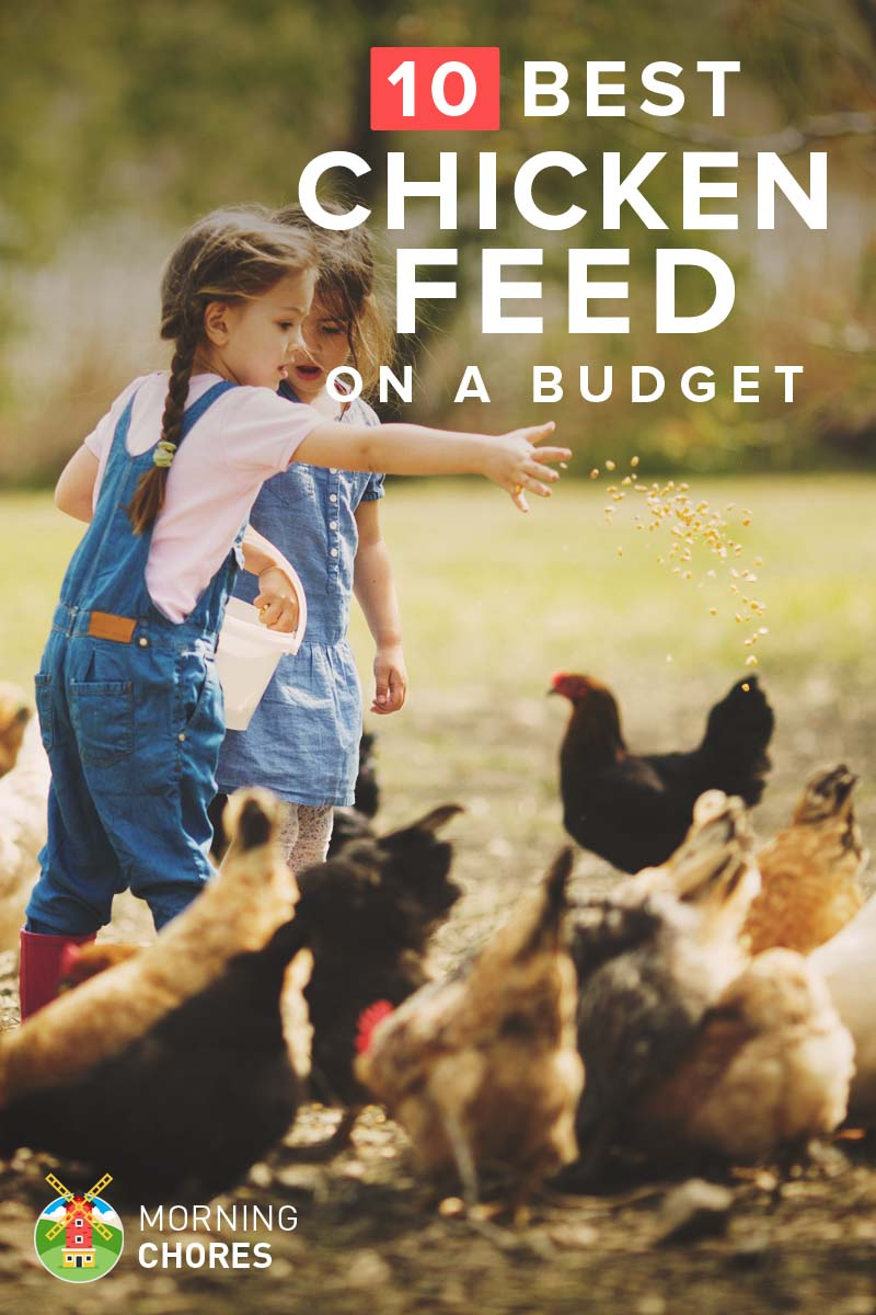 26 Cheap Yet Nutritious Chicken Feed That Won T Break Your Wallet