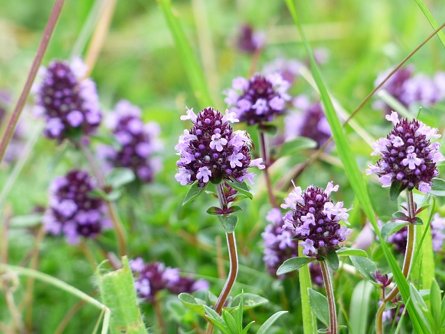 Thyme is an edible flower which can be grown in small spaces