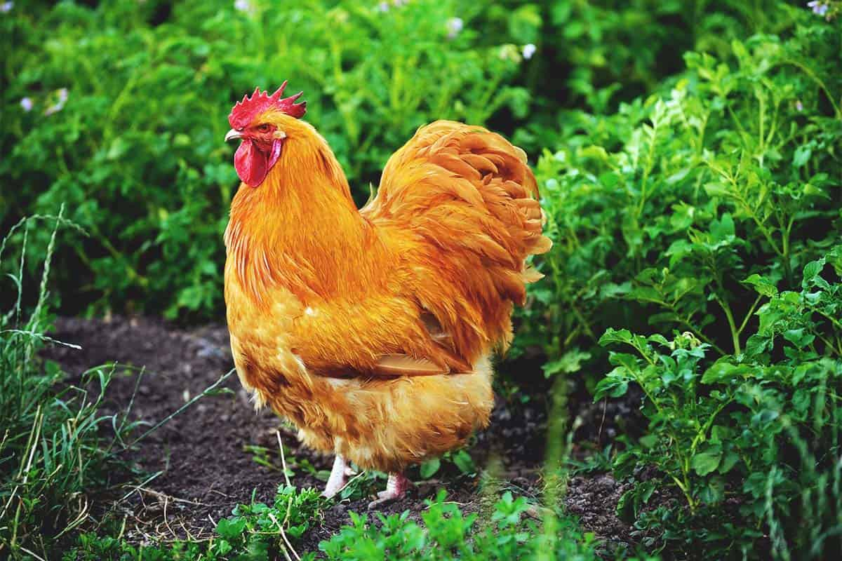 8 Best Meat Chickens to Breed and Raise in Your Backyard