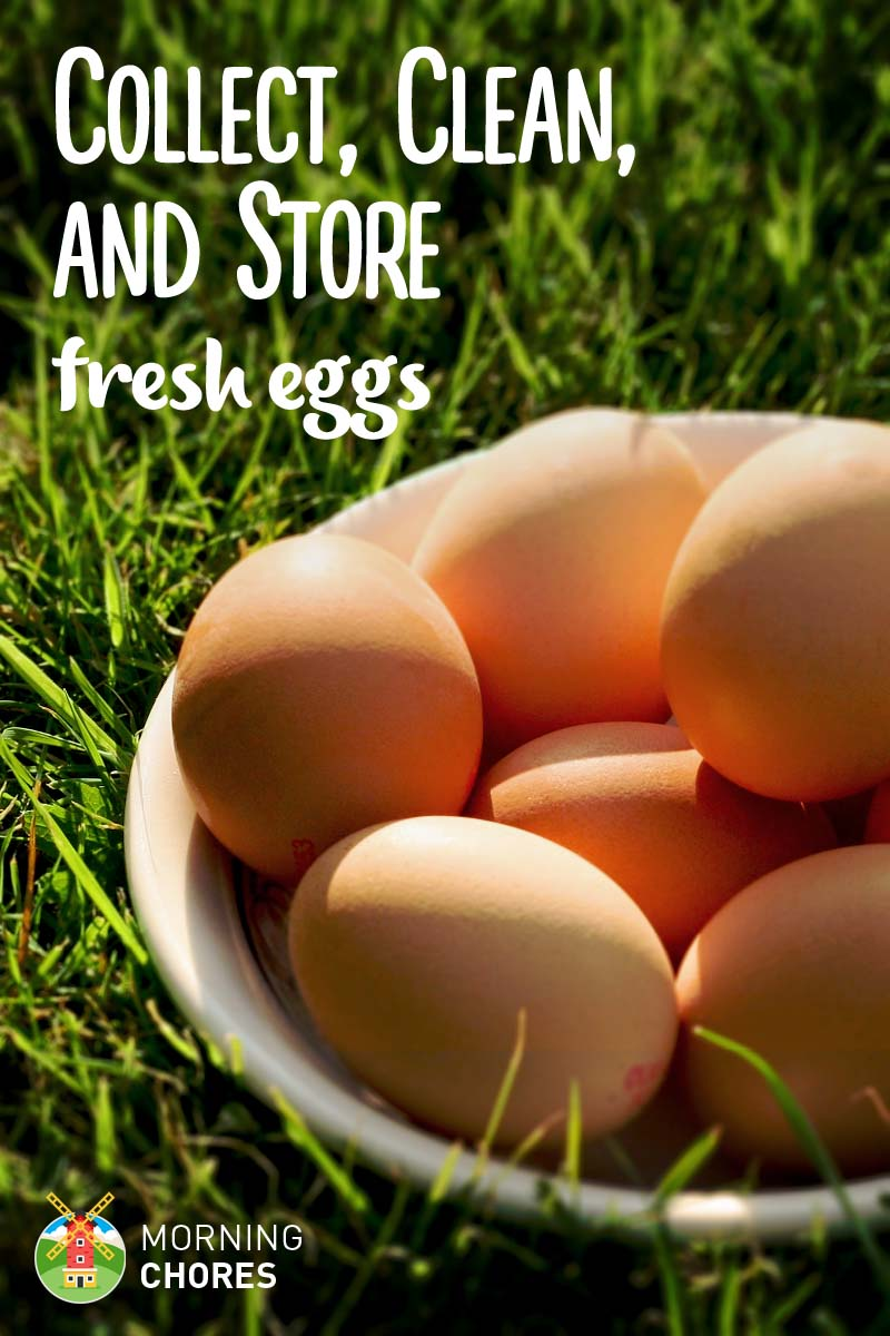 how to collect clean and store fresh chicken eggs so they u0027re