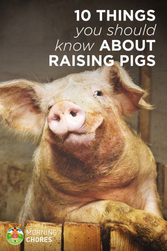10 Things about Raising Pigs