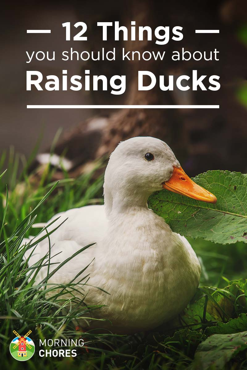 12 things you should know about raising ducks