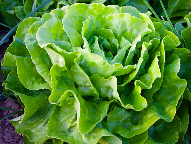 lettuce is one of the easiest vegetables to grow