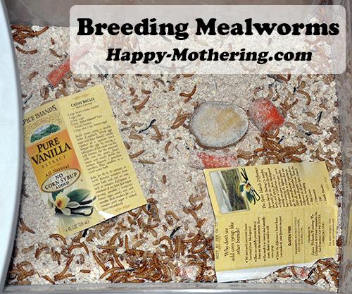 breeding-mealworms