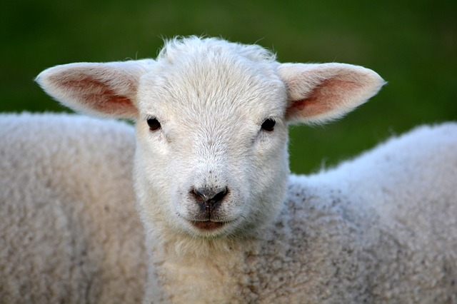 lambs to sell to make money homesteading