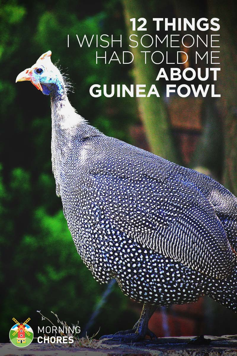 12 Things About Guinea Fowl