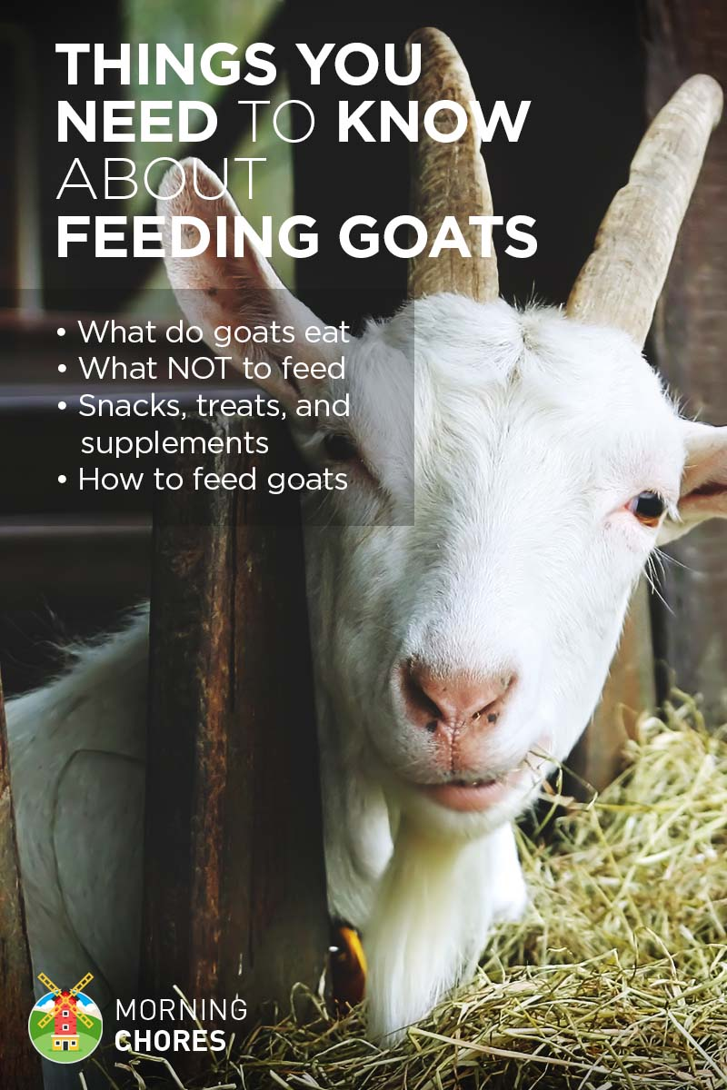 What Do You Need For Full Face Makeup: And Everything Else About Feeding Goats