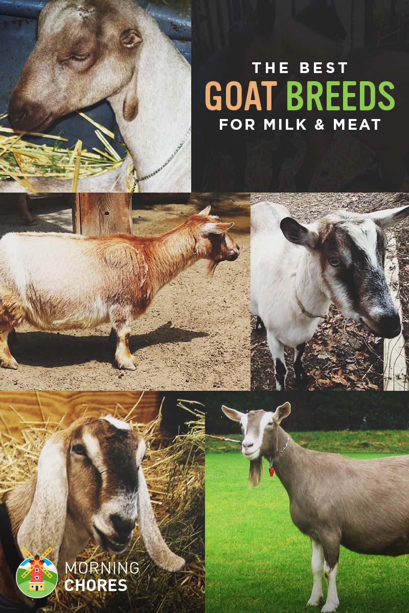 how to get goat milk in delhi