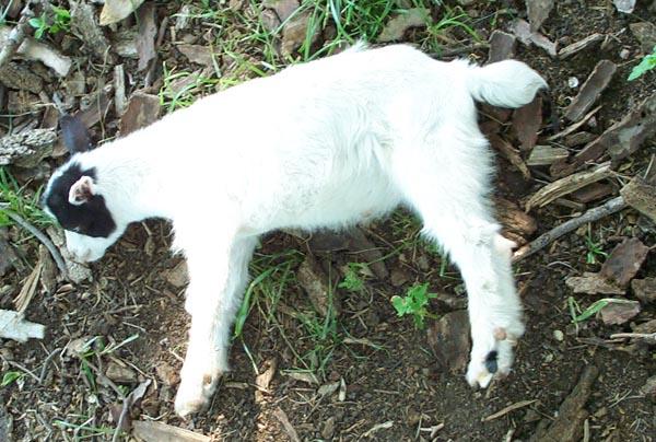 myotonic goat breeds