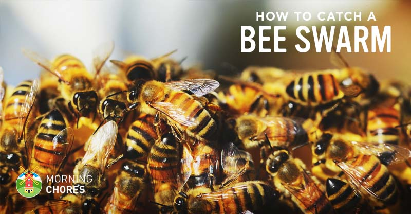 How To Catch A Swarm Of Bees Safely And Get Bees For Free