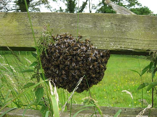 how to catch a swarm