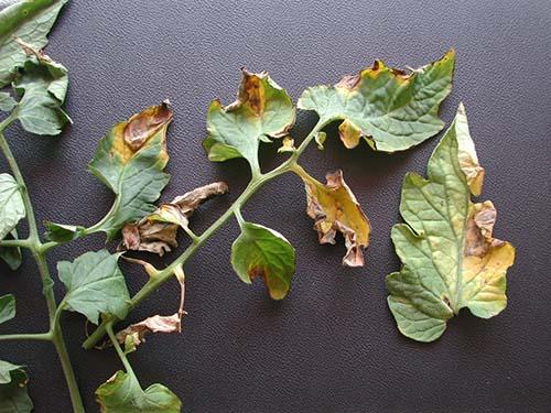tomato_D32a-Vert-symptoms-1899_zoom