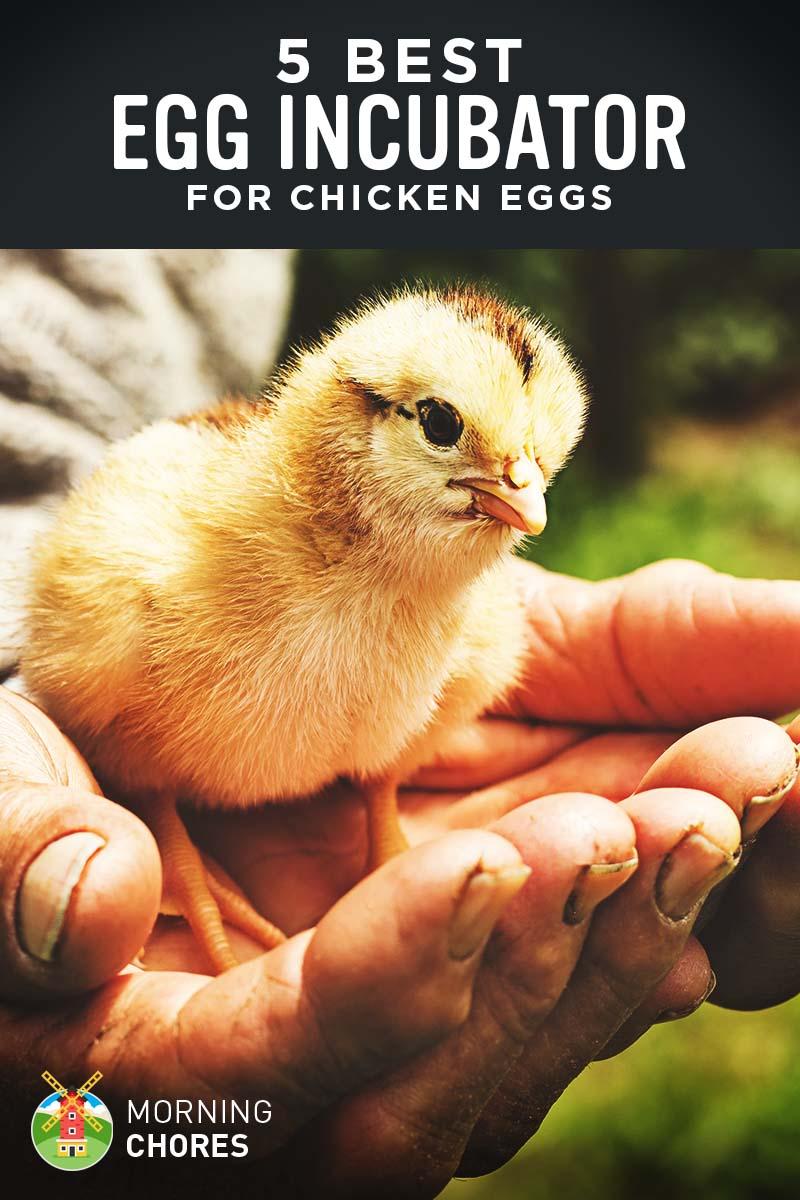Raising egg chicken
