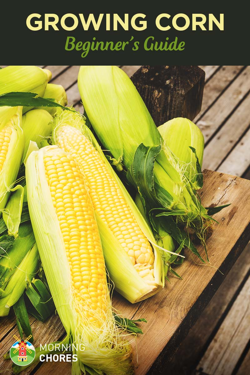 Growing Corn: Beginner's Guide to Planting Corn Successfully