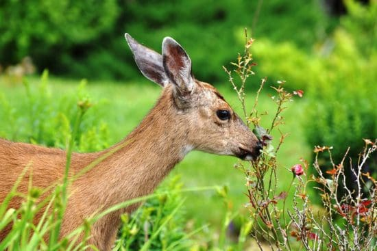 20 Ways to Deter Deer and Keep Them Out of Your Garden Humanely