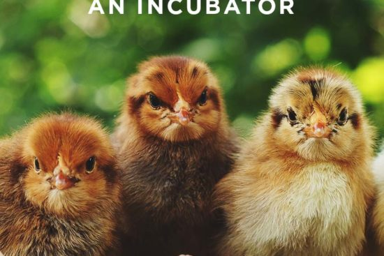 Hatching Eggs: How to Hatch Your Chicken Eggs with and without an Incubator