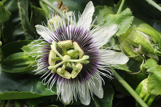 Passion Fruit Flower as fruits to grow in containers