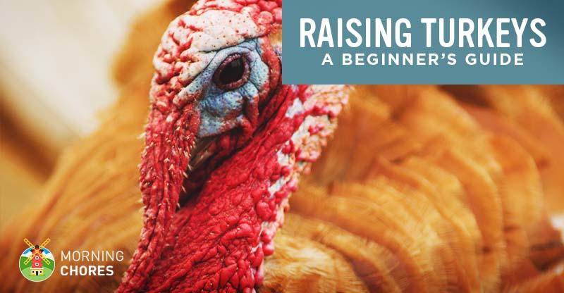 d0726c361c Raising Turkeys  How to Raise Turkeys for Meat and Profit