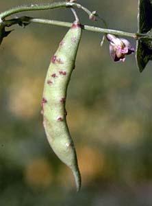 Stem Anthracnose Green Beans