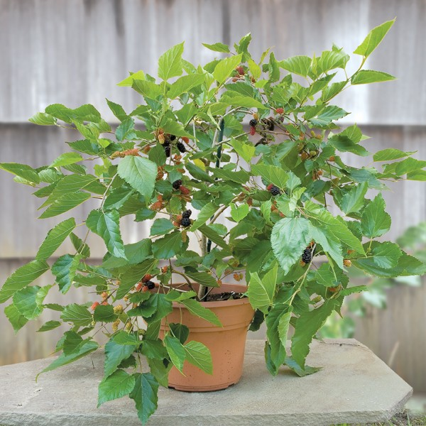 mulberries as fruits to grow in containers