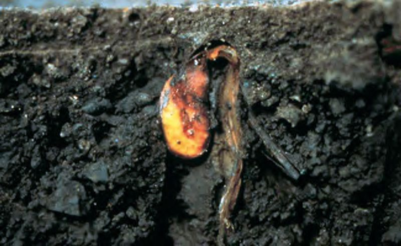 seed rot