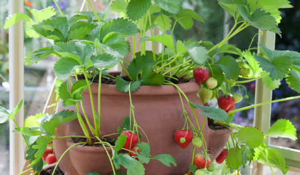 strawbeeries as fruits to grow in containers