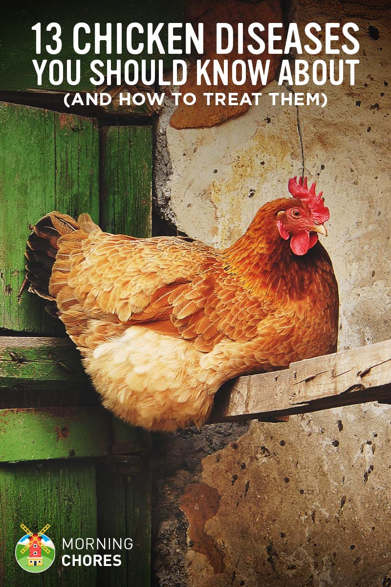13 common chicken diseases you should know and how to treat them