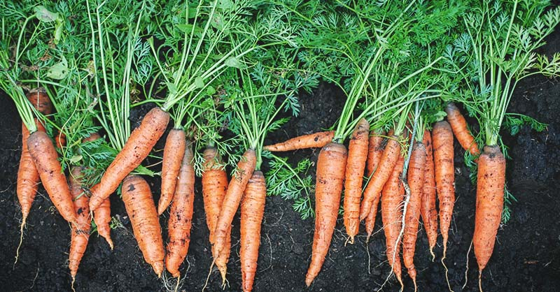 Did You Know That Carrots Actually Were Not Originally Grown For Food Nope They Considered A Medicine Before Ever As Something