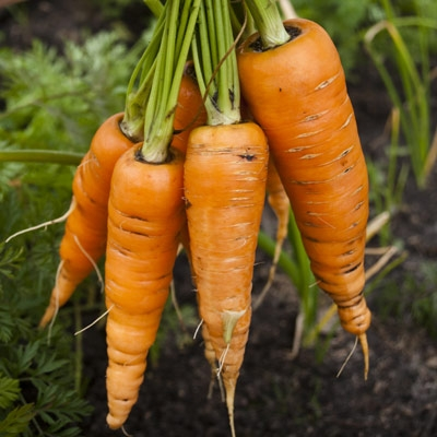 danver carrots in a Winter Garden