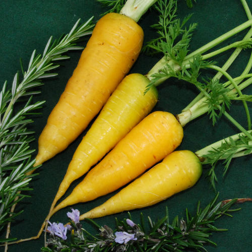 http://www.condorseed.com/vegetables/carrot/carrot-solar-yellow/