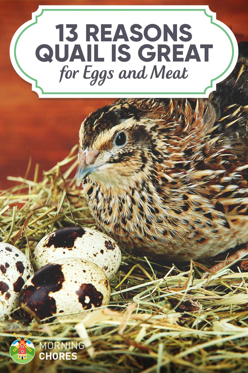 13 Legitimate Reasons to Start Raising Quail in Your (Urban) Homestead