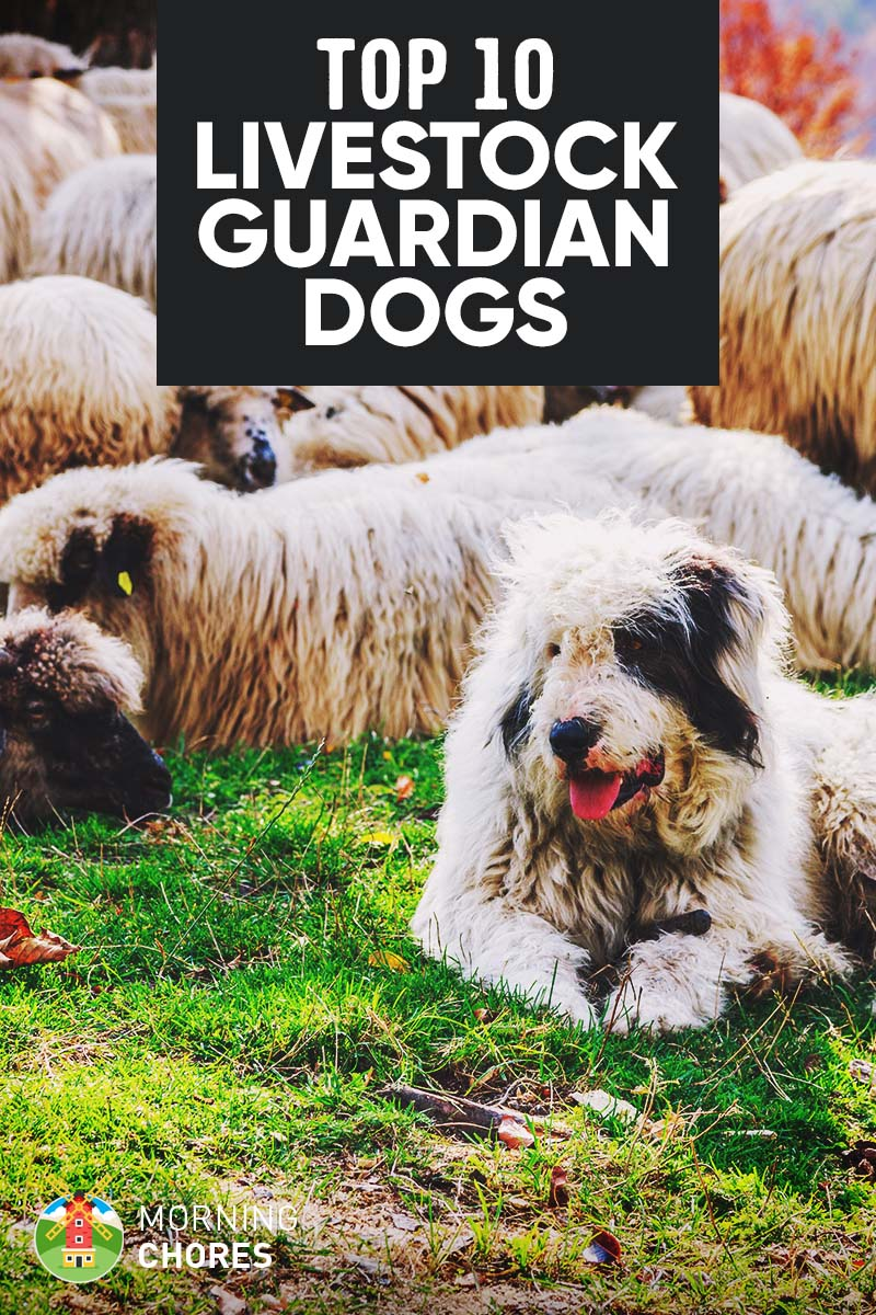 10 Best Livestock Guardian Dog Breeds for Your Farm