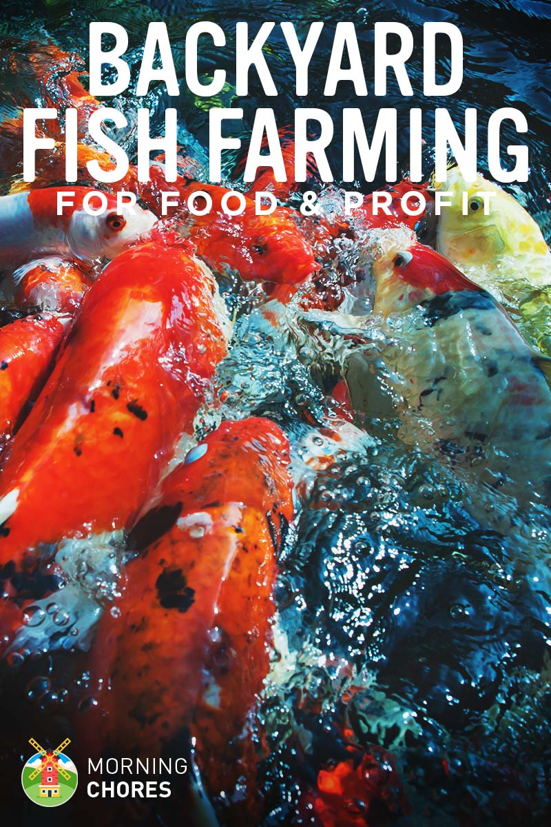 Backyard fish farming how to raise fish for food or for Raising koi fish