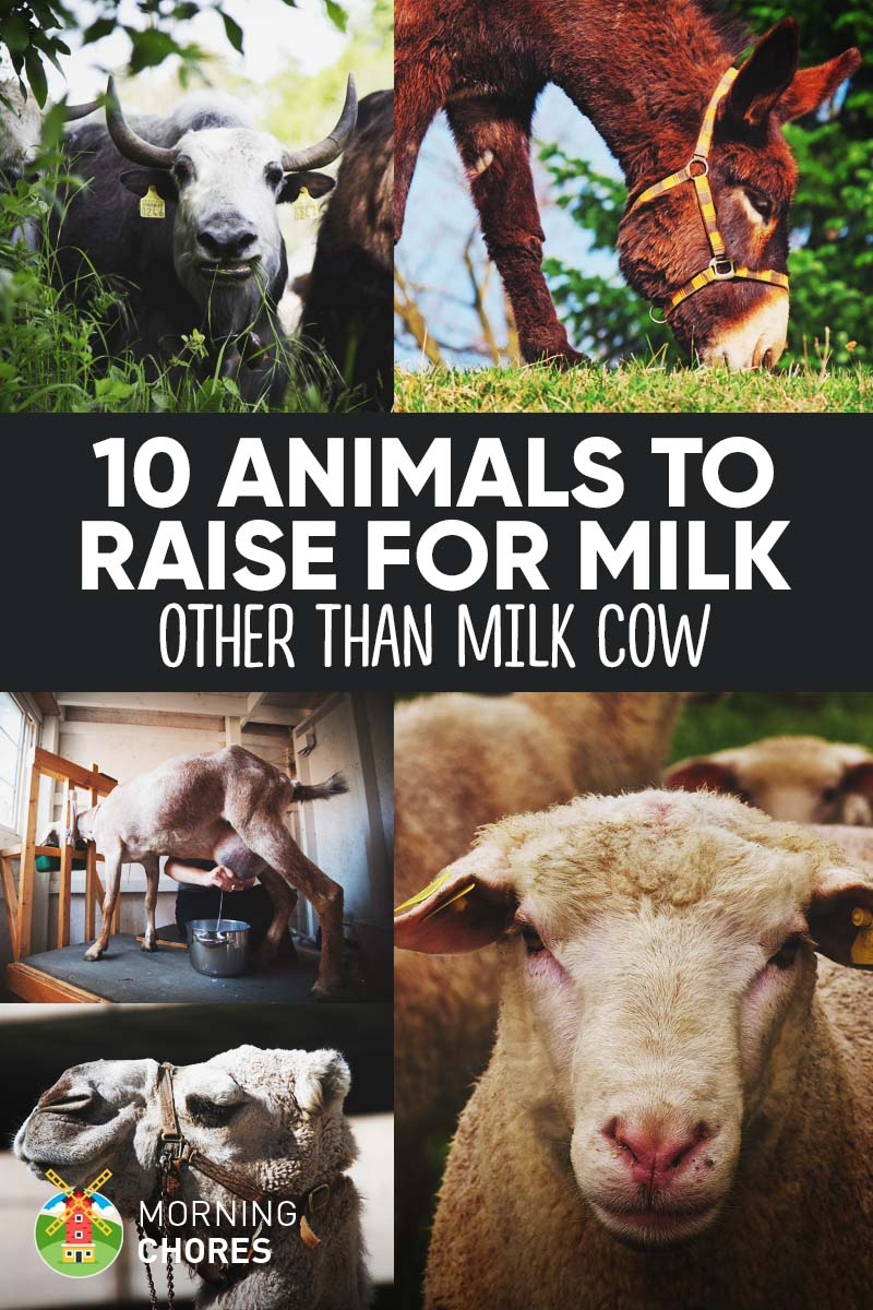 10 Animals to Raise for Milk Other Than Milk Cow