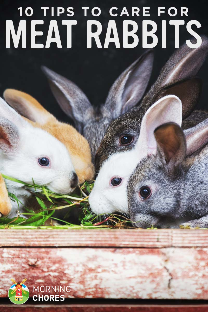 10 Tips to Care for Backyard Meat Rabbits