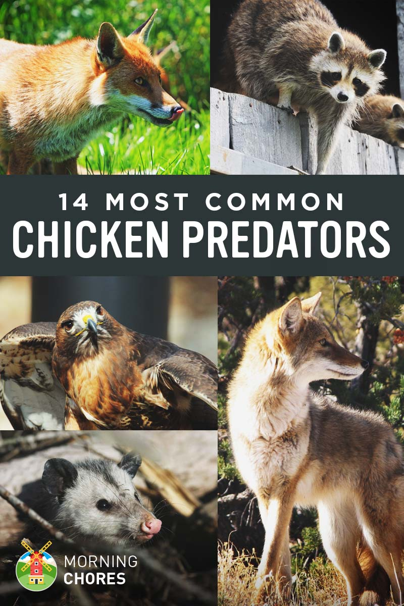 identifying 14 common chicken predators and how to protect them