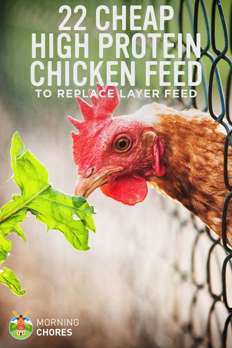 22 High Protein Cheap Chicken Feed to Replace Layer Feed