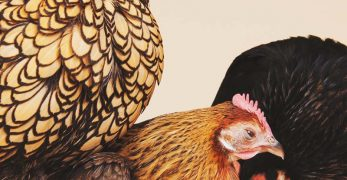 Molting Chickens - Why Do Chickens Molt and How You Can Help