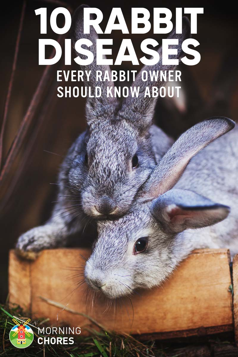 10 Common Rabbit Diseases Illnesses Amp Ailments And How
