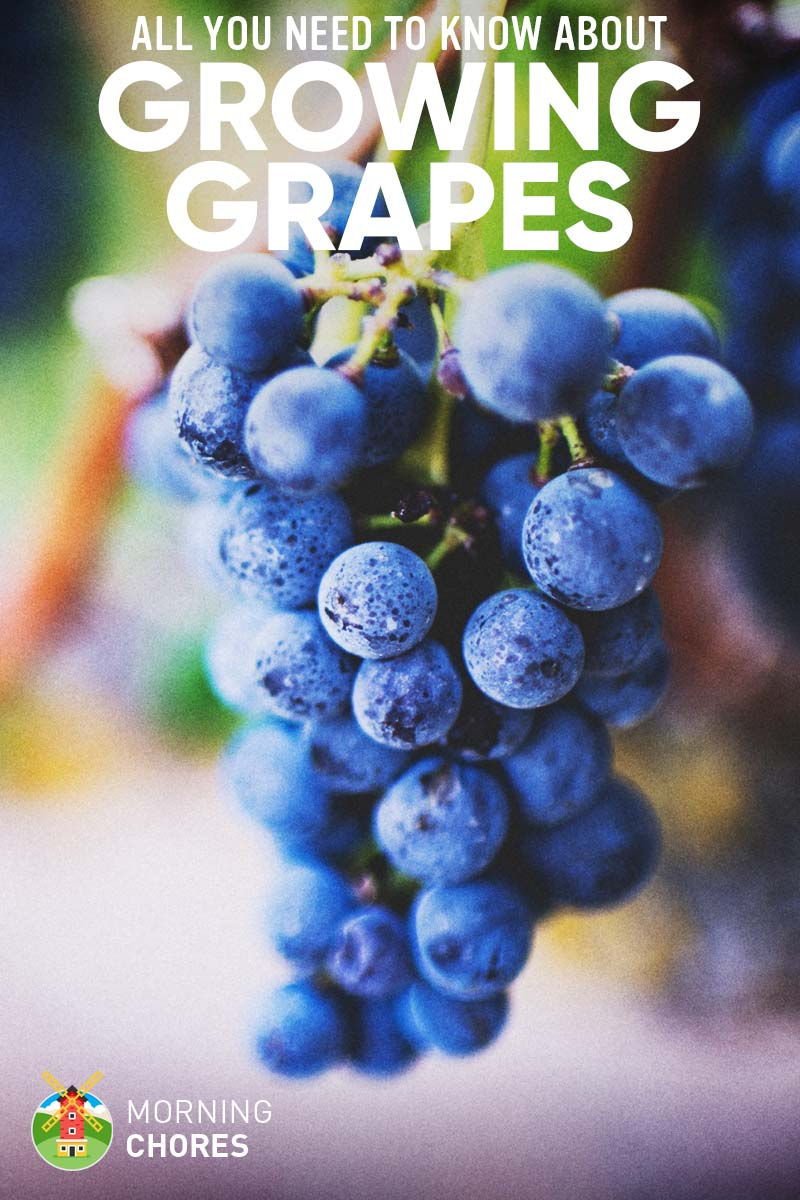 Beginners Guide on How to Grow Grapes Successfully