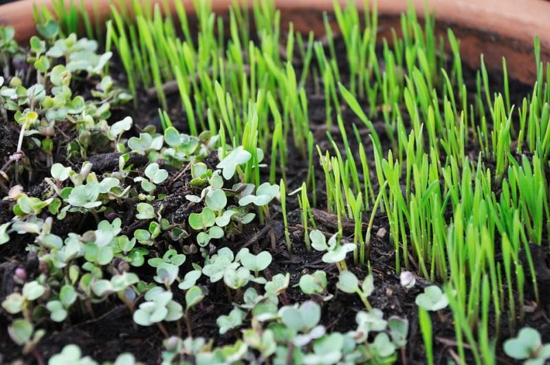 Varieties of microgreens