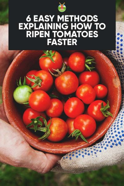 Your Situation Don T Worry Because I M Going To Share With You How Ripen Tomatoes There Are Various Methods So Let S Take A Look At Each One