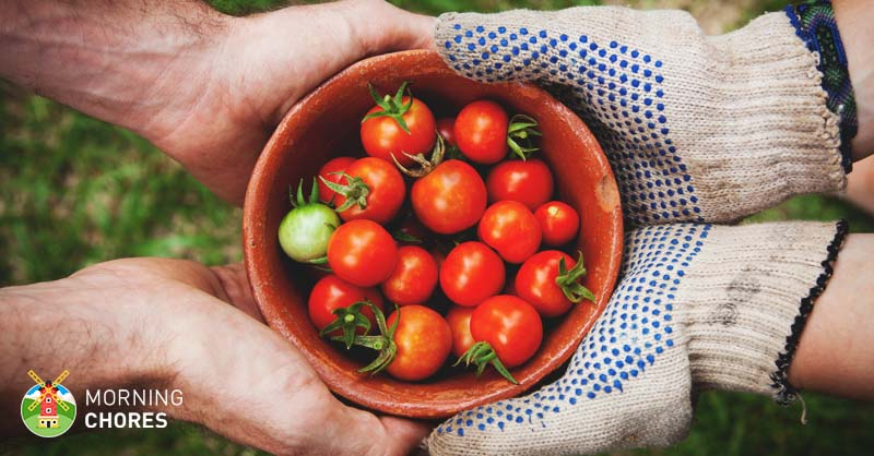 Ripen Tomatoes Faster