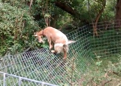 Goat Fencing 6 Important Tips To Consider To Build The