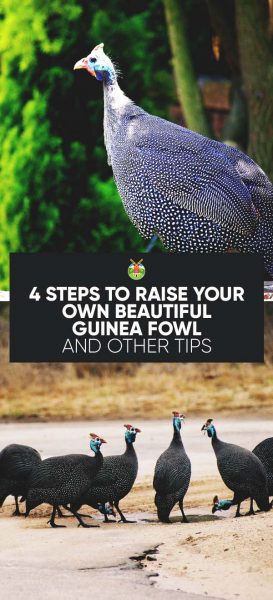 Raising Guinea Fowl All You Need To Know To Do It Right