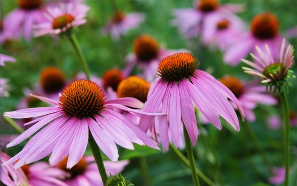 Echinacea-Purple-Coneflower