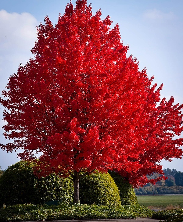 american-red-maple fast growing shade trees