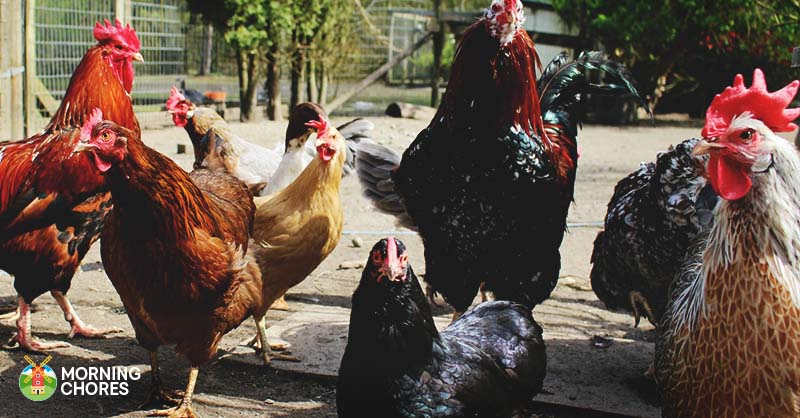 complete and easy guide to raising backyard chickens in 7 steps