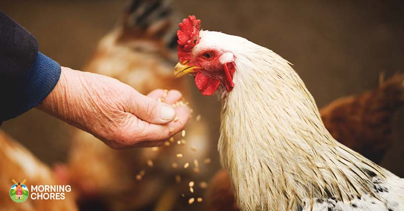 7 Frequently Asked Questions About Chickens and All the Answers