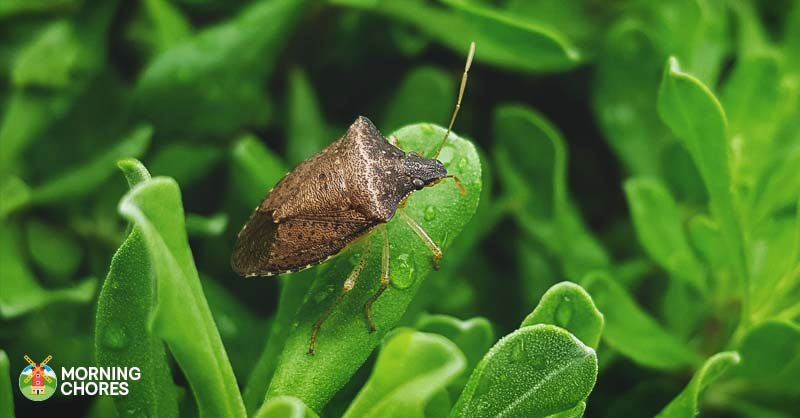 How to get rid of stink bugs in 8 easy ways that 39 ll work - How to get rid of stink bugs in garden ...